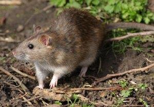 Eliminar Ratos Vantagens e Desvantagens