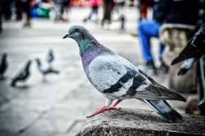 Controle de Pombos – As Suas Doenças e trazer Risco a Saúde humana