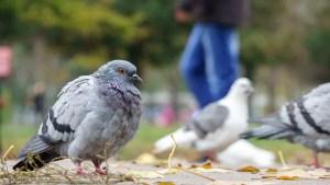 Os pombos são pragas urbanas?