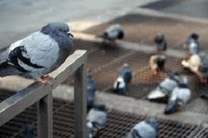 Desinsetização – Pombo Símbolo De Paz Ou De Praga Urbana?