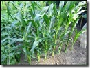 Suikermaïs en Azteekse maïs
