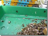 Bak met aantal cocons en ontsnapte bijen