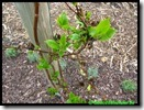 Kiwi die terug hergroeit