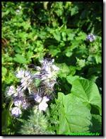 Phacelia eeuwige bijenliefhebber