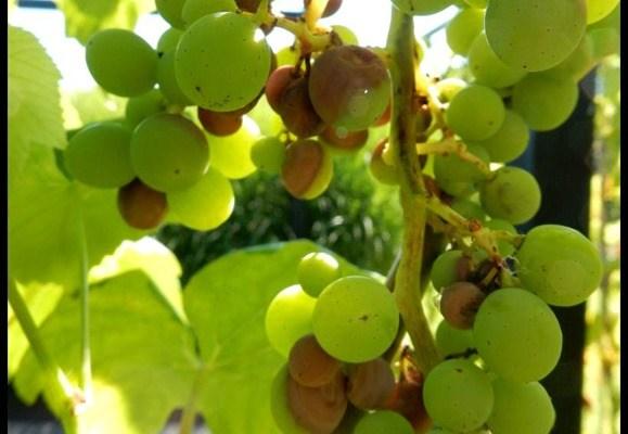 Mysterieuze ziekte op druiven?