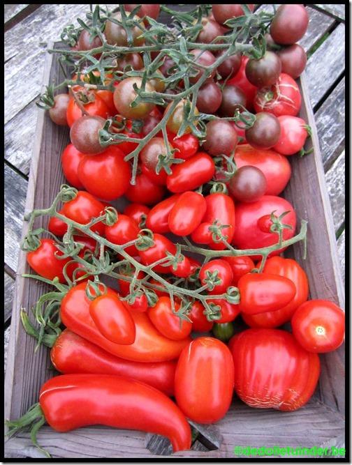 De laatste tomaten