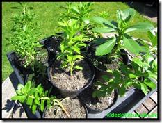 Stekken van vetplant