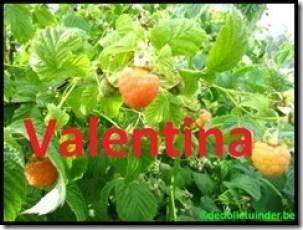 Framboos 'Valentina'