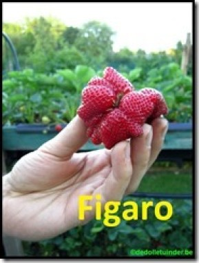 Aardbei 'Figaro'
