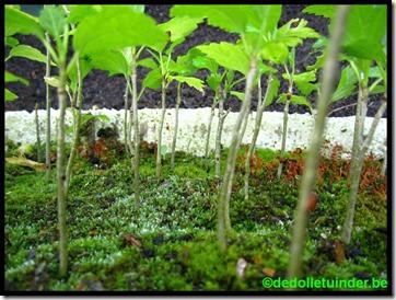 Hibiscus woud