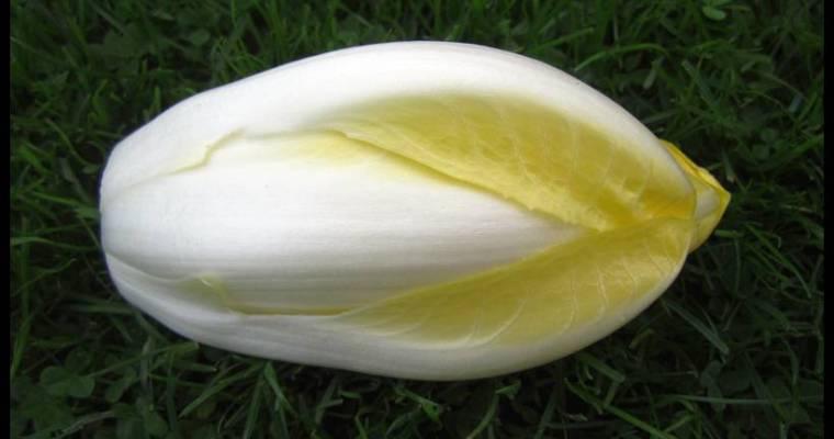 Pepers overwinteren en lekkere witloof