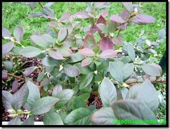 Blauwe bes Star nog steeds in mooi groen blad