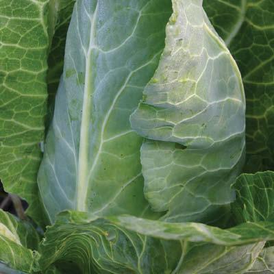 Cabbage Filderkraut
