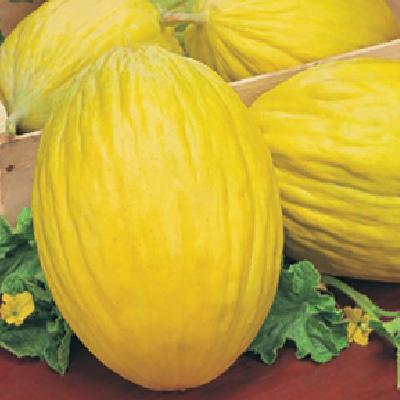 Melon Rugosa di Consenza Giallo