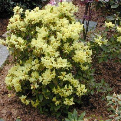 Dwarf Rhododendron Golden Princess