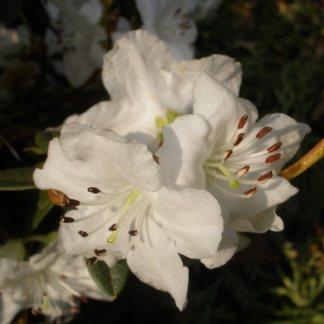 Dwarf Rhododendron Ptarmigan