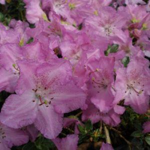 Rhododendron calostrotum keleticum