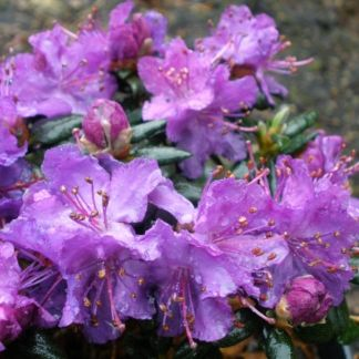 Rhododendron fastigiatum 'Blue Steel'