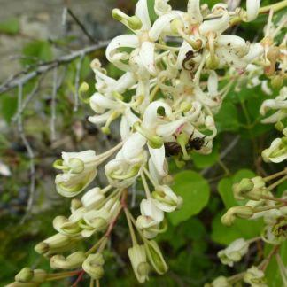 Lomatia tinctoria