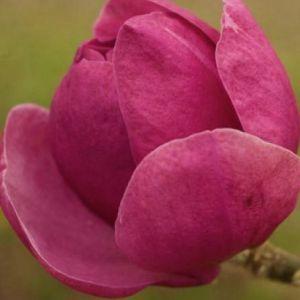 Magnolia soulangiana 'Beugnon'
