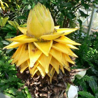 Musa (Musella) lasiocarpa