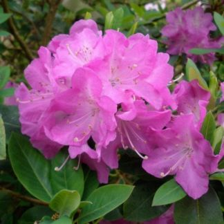 Rhododendron oreotrephes 'Pentland'