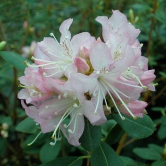 Rhododendron racemosum 'Rock Rose'