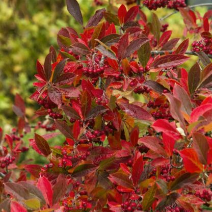 Aronia arbutifolia 'Brilliant'