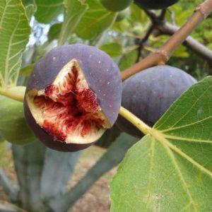 Ficus carica 'Noire de Bellone'