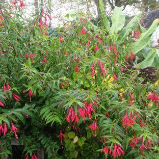 Fuchsia hatschbachii