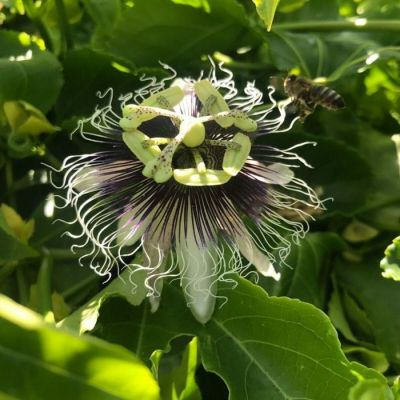 Passiflora edulis 'Purple Giant'