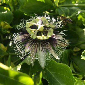 Passiflora edulis 'Purple Giant'