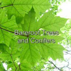 Bareroot Trees and Conifers