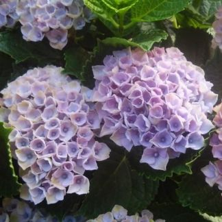 Hydrangea macrophylla Magical Revolution