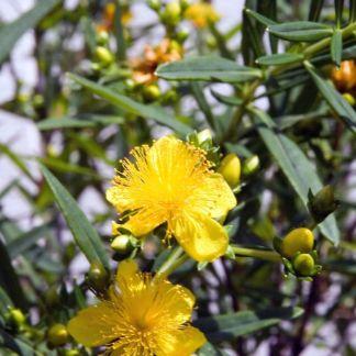 Hypericum kalmianum 'Gemo'