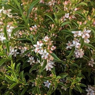 Eriostemon myoporoides 'Flower Girl Pink'