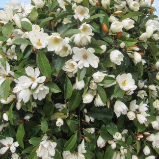 Michelia Magnolia 'Fairy Cream'