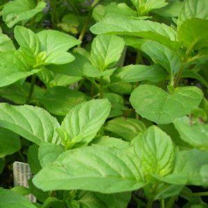 Basil, Lettuce Leaved