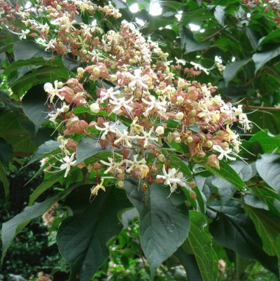 Clerodendron trichotomum.