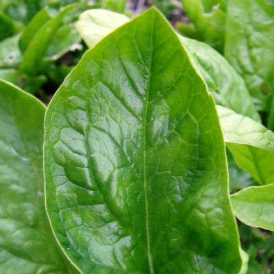 Spinach Giant Winter
