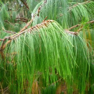 Pinus patula (Mexican weeping pine)