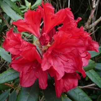 Rhododendron 'Vulcan'