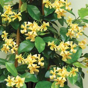 Trachelospermum jasminoides 'Star of Toscana'