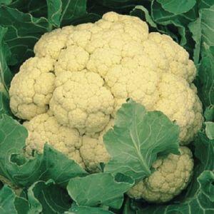 Cauliflower Maystar