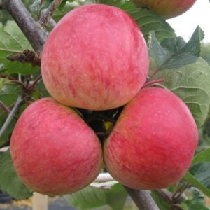 Apple 'Dabinett'  (Bareroot)
