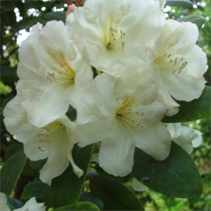 RHODODENDRON 'High Summer' (Hardy Hybrid)