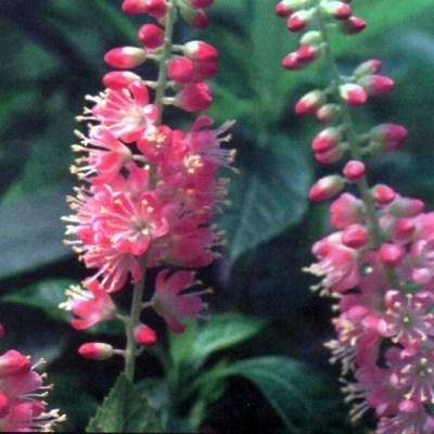 Clethra alnifolia 'Pink Spires'