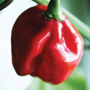 Pepper, 'Habenero' (Hot)