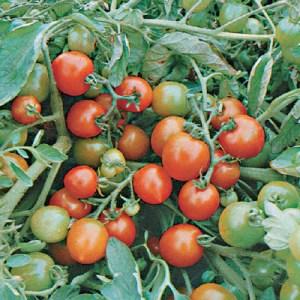 Tomato,  'Red Alert'