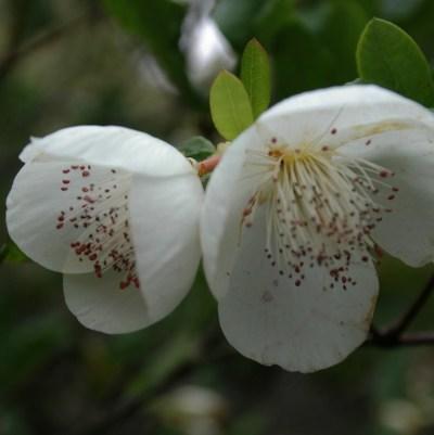 Eucryphia x intermedia 'Rostrevor'
